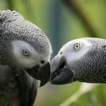 شناخت کاسکو طوطی آفریقایی