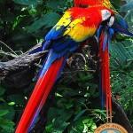 دانلود فیلم مستند طوطی های ماکائو